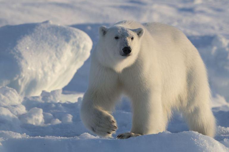 Polarbear25